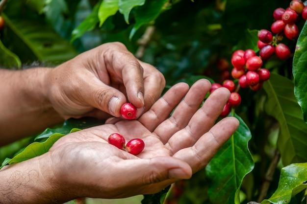 Granjero de café recogiendo granos de cereza madura, grano de café fresco en la canasta, cerca de granos de café de frutos rojos.