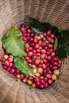 Granjero de café recogiendo granos de cereza madura, grano de café fresco en la canasta