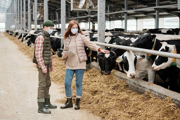 Granjero experimentado en máscara sosteniendo la tableta y apuntando a la vaca mientras explica la tarea al hijo adolescente en el establo