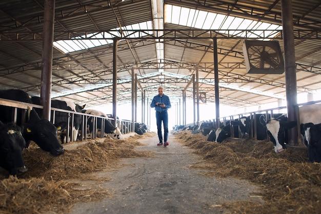 Granjero ganadero caminando por la granja de animales domésticos con tableta y observando vacas
