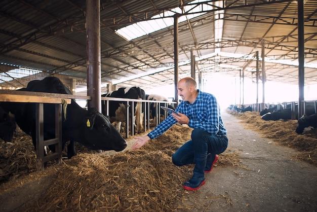Granjero ganadero con tableta cuidando vacas en la granja