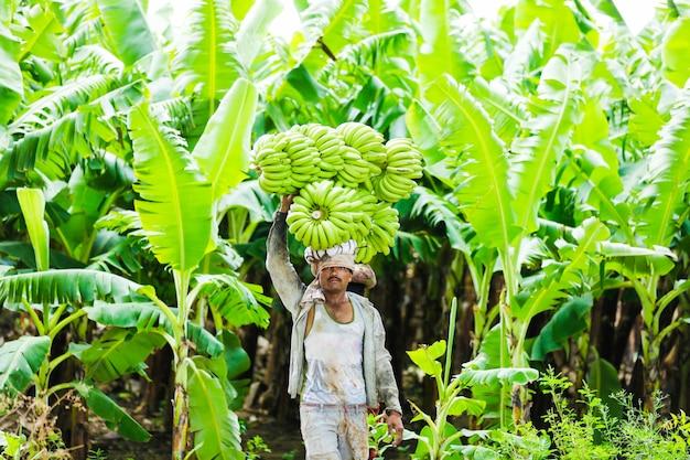 Granjero indio en el campo del plátano