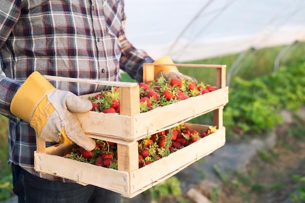 Granjero irreconocible en ropa casual llevando caja llena de fresas recién cosechadas