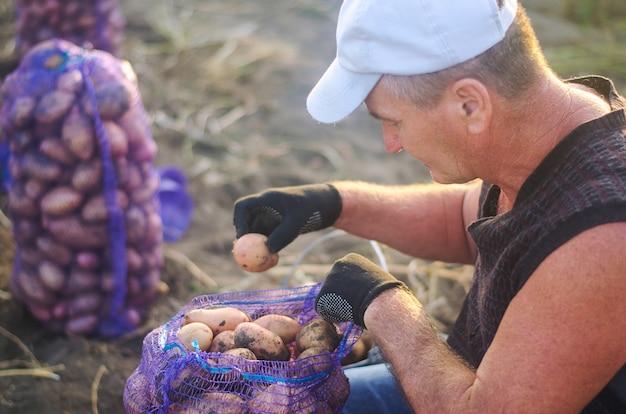 Granjero llena una bolsa de malla de patatas. cosecha de patatas en plantaciones agrícolas. agricultura