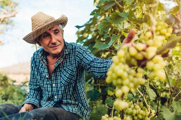 Granjero que recolecta la cosecha de uvas en granja ecológica.