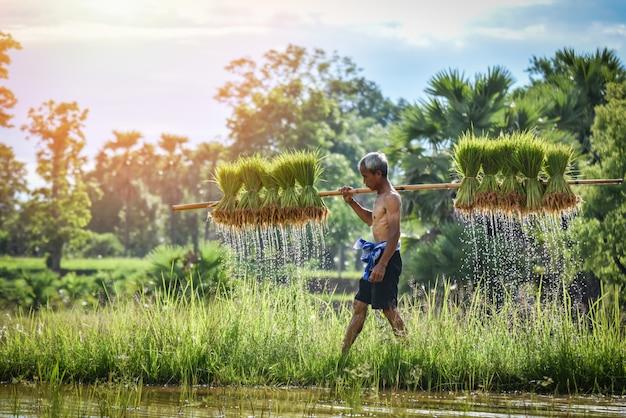 Granjero que sostiene al bebé del arroz en campo verde del arroz que cultiva las tierras de labrantío