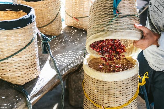 Granjero que vierte a mano las bayas rojas maduras del café arabica en otra canasta en el pueblo akha de maejantai