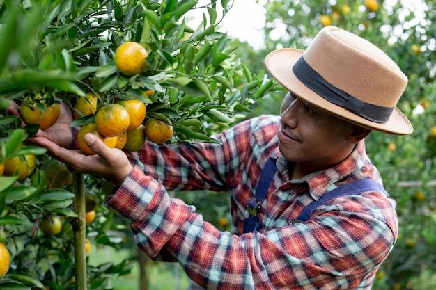 El granjero esta recogiendo naranja.