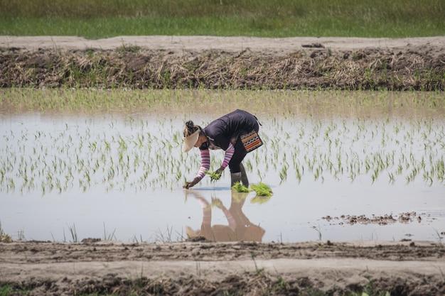Granjero de sexo femenino tailandés que planta el arroz en el campo
