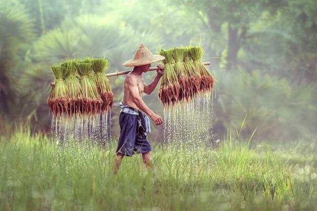 Granjero tailandés en campos verdes con arroz baby, sakonnakhon, tailandia