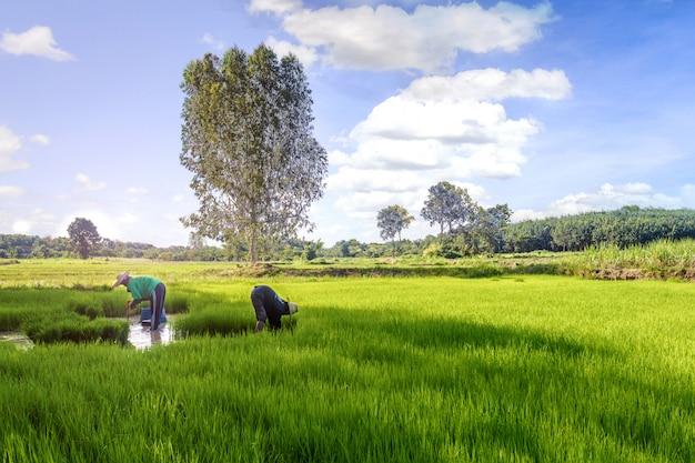 Granjero tailandés en tiempo de cosecha en el campo de arroz