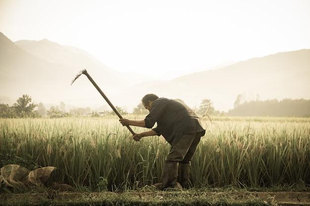 Granjeros tailandeses que llevan las espadas en el campo.