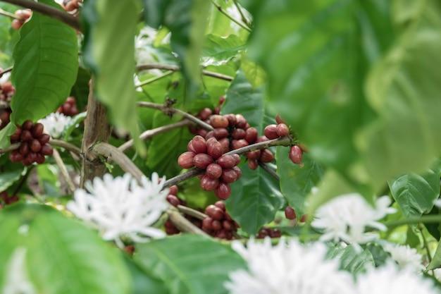 Grano de café en cafeto en la plantación de café.