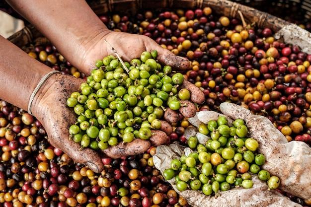 Grano de café verde crudo en la mano y café rojo