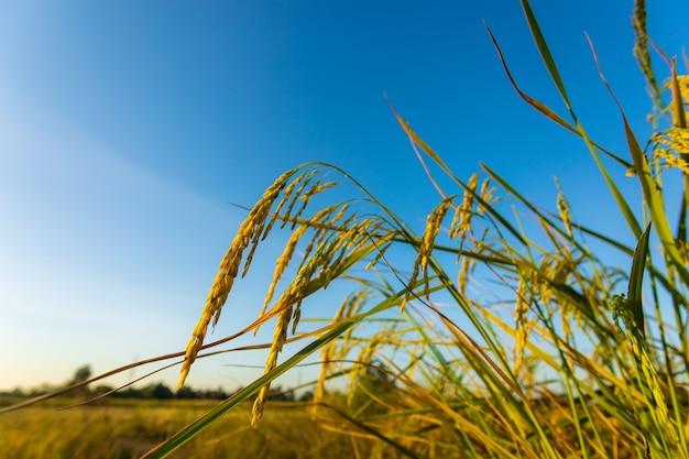 El grano de oro en los campos al atardecer.