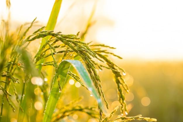 Granos de arroz en campos de arroz
