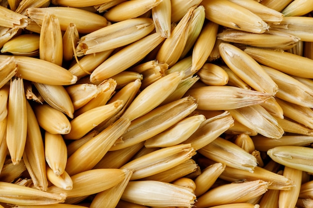 Granos de avena naturales, de cerca. grano de oro.