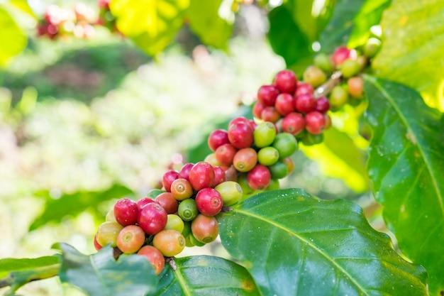 Granos de café arábica madura en un árbol