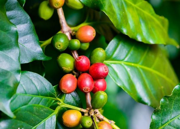 Granos de café en el árbol