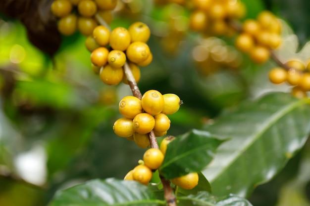 Granos de café catimor amarillo maduración en árbol en el norte de tailandia