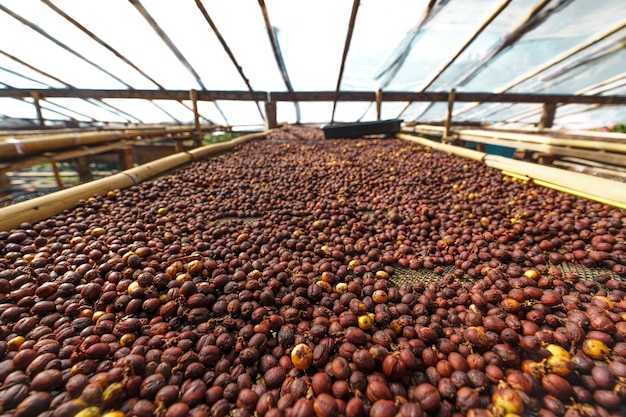 Granos de café de cereza, café de proceso seco de madurez de café amarillo