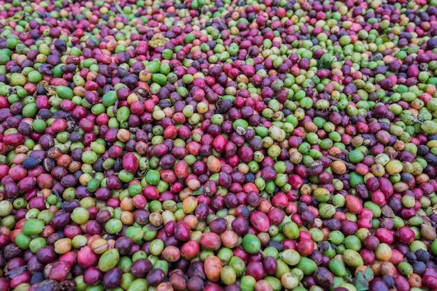Granos de café crudo seco. granos de café frescos de las bayas rojas y verdes frescos del jardín.