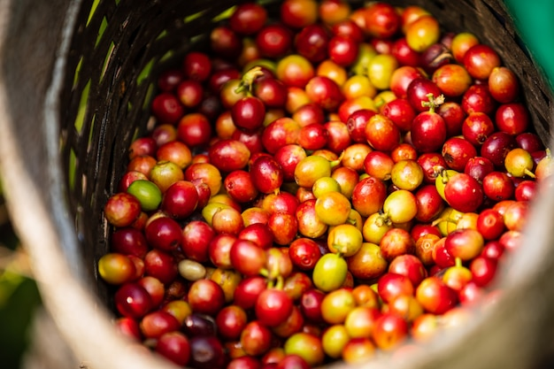 Granos de café crudos en la cesta del agricultor