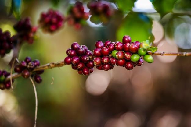 Granos de café crudos y hojas verdes en el área agrícola en la montaña chiang rai tailandia