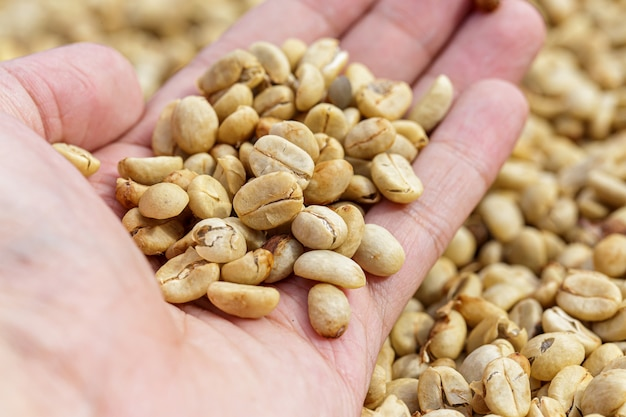 Granos de café fresco lavado proceso húmedo natural.