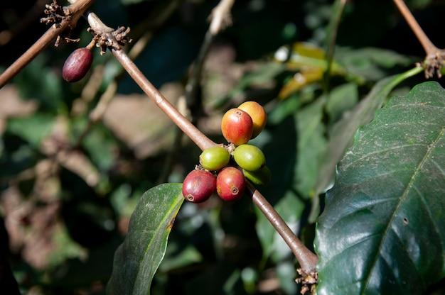 Granos de café frescos en un árbol.