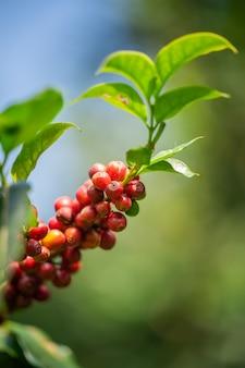 Granos de café frescos en el árbol