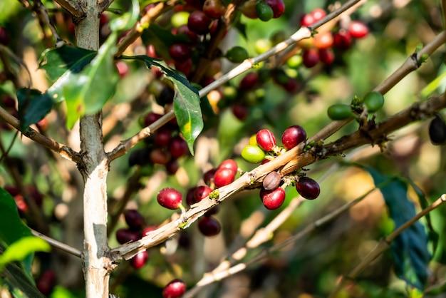 Granos de café frescos