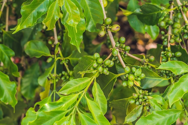 Granos de café inmaduros en el tallo en la plantación de vietnam
