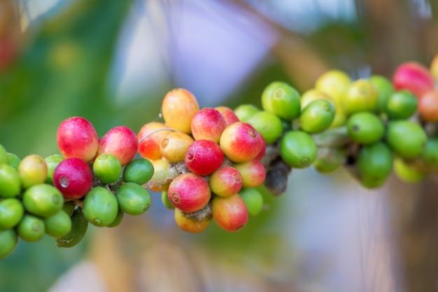 Granos de café madurando en árbol