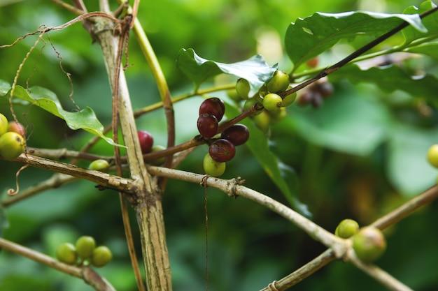 Granos de café en el monte en plantación