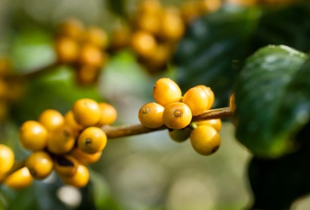 Granos de café que maduran en árbol en el norte de tailandia