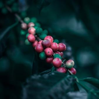 Granos de café que maduran en el estilo del vintage del color del árbol