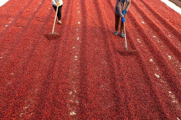 Granos de café secándose al sol. plantaciones de café en finca cafetera