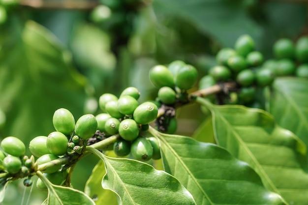 Granos de café verdes en árbol en el jardín