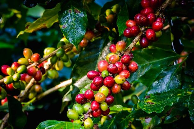Granos y hojas crudos de café en la estación de la lluvia en el área agrícola chiang rai tailandia