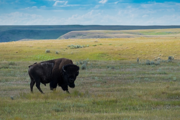 Great plains bison, buffalo en el parque nacional grasslands, saskatchewan, canadá