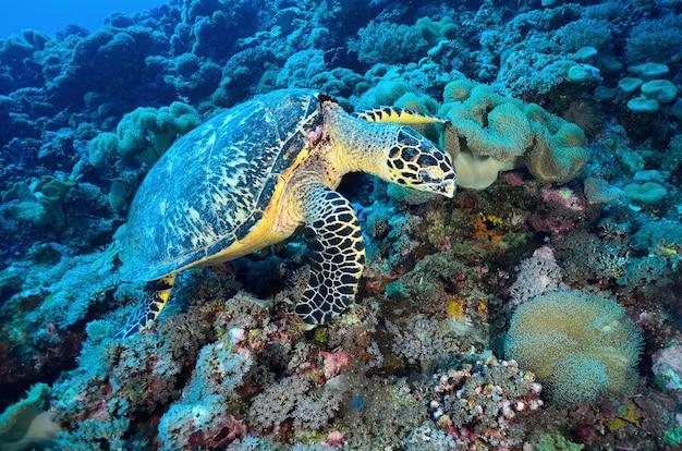 Green sea turtle sentado en un colorido arrecife de coral bajo el agua en el océano