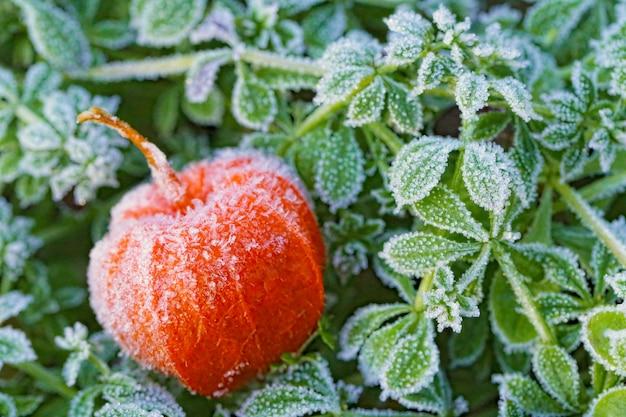 Grosella espinosa de cabo (physalis). fondo natural de otoño. un physalis congelado en la hierba verde poco profunda en la escarcha.