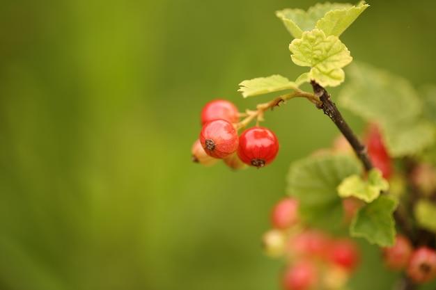 Grosellas rojas en el jardín