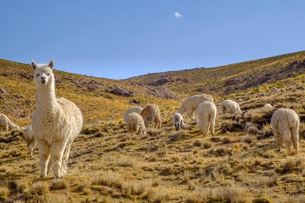 Grupo de alpacas en el perú