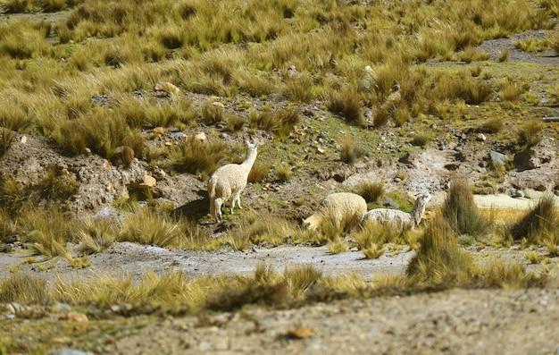 Grupo de alpcacas pastando en el campo de la reserva nacional salinas y aguada blanca, arequipa, perú