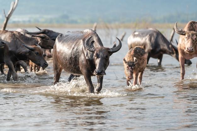 Grupo de búfalo en un río