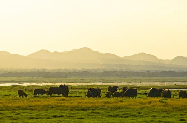 Grupo de búfalos en campo rural.