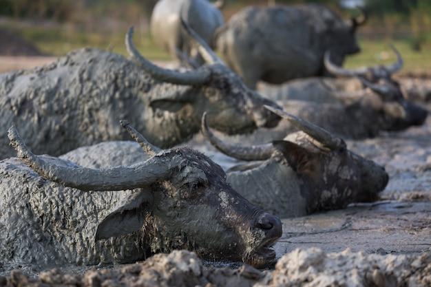 Grupo de búfalos tailandeses en estanque de barro