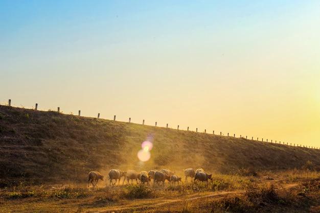 Grupo de búfalos